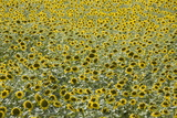 Sunflowers  Provence  France  Europe