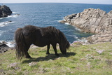 Ponies on Bryher  Isles of Scilly  Cornwall  United Kingdom  Europe