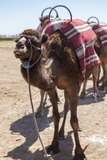 A Camel Just Outside of Marrakesh  Morocco  North Africa  Africa
