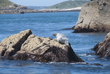 Grey Seals  Isles of Scilly  Cornwall  United Kingdom  Europe