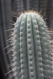 Cactus  Azureocereus Hertlingianus Backeb  Jardin Botanico (Botanical Gardens)