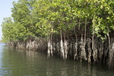 Mangrove Swamps with Oysters Growing Up the Roots  Makasutu  Gambia  West Africa  Africa