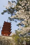 Spring Cherry Blossom at Senjokaku Five Storey Pagoda
