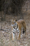 Indian Tiger  (Bengal Tiger) (Panthera Tigris Tigris)  Bandhavgarh National Park
