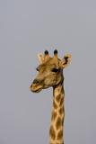 Desert Giraffe (Giraffa Camelopardalis Capensis) Running  Namibia  Africa