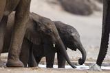 Desert-Dwelling Elephants (Loxodonta Africana Africana) at a Waterhole  Namibia  Africa