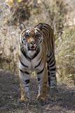 Indian Tiger  (Bengal Tiger) (Panthera Tigris Tigris)  Bandhavgarh National Park