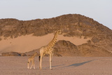 Desert Giraffe (Giraffa Camelopardalis Capensis) with Her Young  Namibia  Africa