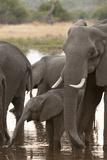 African Elephant (Loxodonta Africana)  Okavango Delta  Botswana  Africa