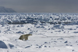 Polar Bear (Ursus Maritimus) on Pack Ice  Spitsbergen  Svalbard  Norway  Scandinavia  Europe