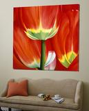 Most Beautiful Tulip I