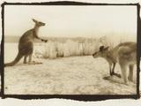 T Rex Roos  Australia
