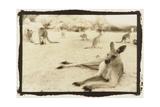 Kangeroo Reclining  Australia
