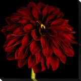 Black / Red Dahlia Canvas