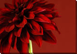 Red Dahlia Canvas