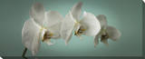 Teal Orchid Canvas