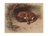 Canis Vulpes: the Fox