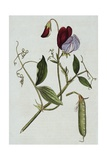 Botanical Illustration of Sweet Pea in Bloom