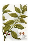 Illustration of Coffe Plant with Berries