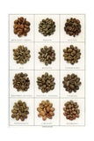 Illustration of Twelve Varieties of Coffee Beans
