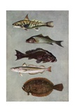 Illustration of Five Varities of Food Fishes
