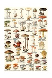 Illustration of Edible and Poisonous Mushrooms