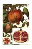 Illustration of Pomegranates