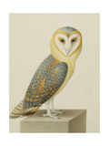 A Barn Owl (Tyto Alba)