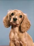 1980s Cute Cocker Spaniel Puppy Looking at Camera