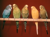 1970s Five Pet Parakeets Perched Against Red Background