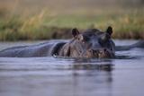 Hippopotamus in River Papier Photo