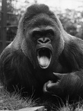 Open-Mouthed Gorilla