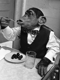 Chimpanzee Dining at a Table Papier Photo