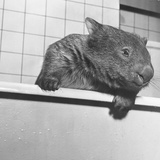 Wombat in a Bathtub