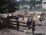 1950s Boy Girl Wearing Jeans Striped Tee Shirt Sit on Fence Dairy Farm Look at Guernsey Cows