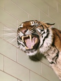 1960s Portrait Roaring Snarling Growling Mean Sumatra Tiger in Zoo Cage