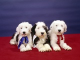 1980s Three Old English Sheep Dog Pups Lying Together Looking at Camera