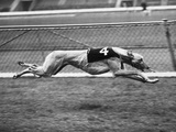 Racing Greyhound Wild Wolf