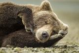 Sleeping Brown Bear  Katmai National Park  Alaska