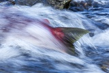 Spawning Salmon  Katmai National Park  Alaska