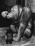 Orangutan Takes His Daily Medicine