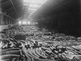 Ivory Sale in Warehouse