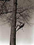 1940s Man Worker Tree Surgeon Climbing Elm Tree Trunk with Trim Saw Pruning Trimming Branches Limbs