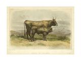 Vache De Salers