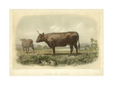 Vache De Devon