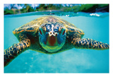 Hawaiian Sea Turtle (Honu)