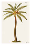 Coconut Palm Tree - From Griffith Hughes 18th Century The Natural History of Barbados
