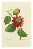 Passion Flower - From the Book: Choix des Plus Belles Fleurs
