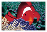 Diva - Hawaiian Tomato Clown Fish in Sea Anemone