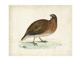Morris Pheasants IV